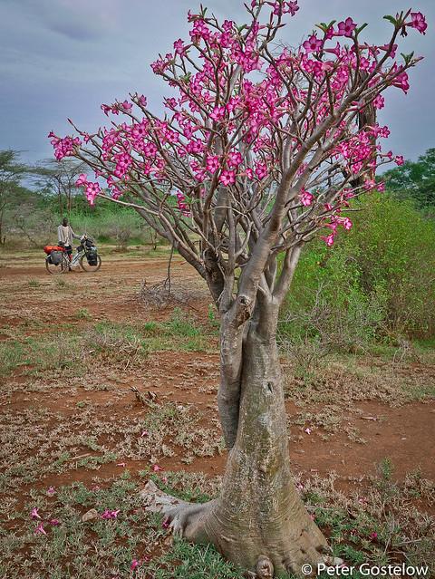 Flowering baobab tree