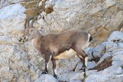 Capra ibex DT[FR Alpes] (1)