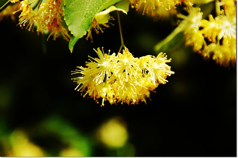 Linden tree, flower 1