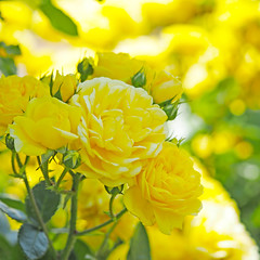Rose, Belle Romantica, バラ, ベル ロマンティカ,