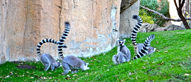 lemurs - madagascar immersion - Bioparc Valencia spain