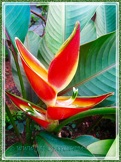 Heliconia stricta 'Sharonii' looking so vibrant, Dec 2 2015