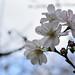 juugatsuzakura_16x16b by takao-bw