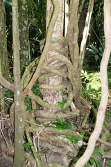 weeping fig Ficus benjamina