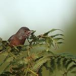 Dartford Warbler 16-10-06-0001