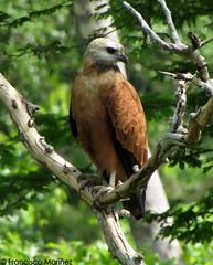 Busarellus nigricollis / Black-collared Hawk / Gavilán Colorado.