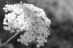 sommersonnenblütenweiß