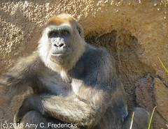 Los Angeles Zoo - Western lowland gorilla
