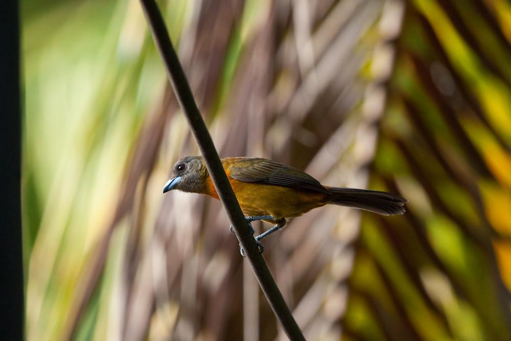Cherrie's Tanager (Ramphocelus costaricensis)