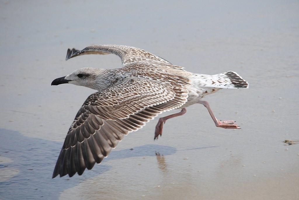 Herring Gull (immature)