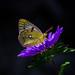 Colias crocea. by hilarioperez