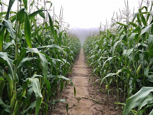 High Maize