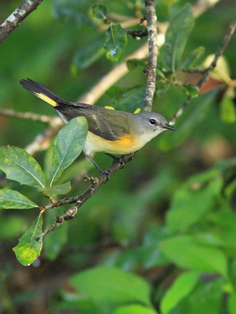 American Redstart female 4-20151015
