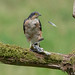 Sparrowhawk (Accipter nisus) by Gowild@freeuk.com