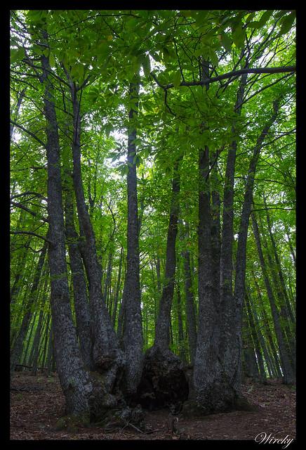 Árboles con troncos unidos