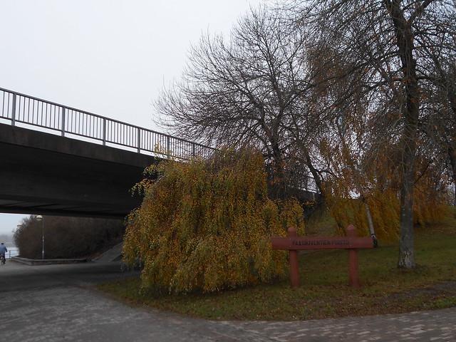 """Ruskan huipentumaa kyynelkoivuissa (Betula pendula """"Youngii""""), 9.11.2015 Hämeenlinna Paasikiventien silta"""