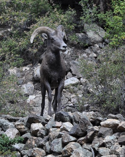 Bighorn sheep on Guanella Pass, CO - by Alex and Amanda Kayl