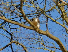 HolderPeregrine Falcon