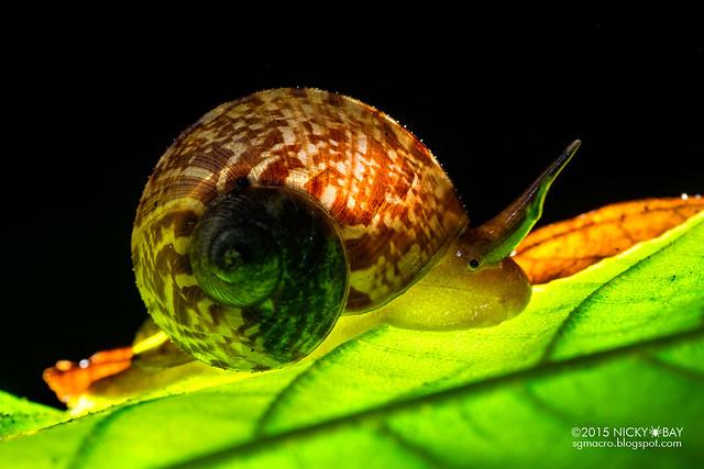 Snail (Gastropoda) - DSC_9657