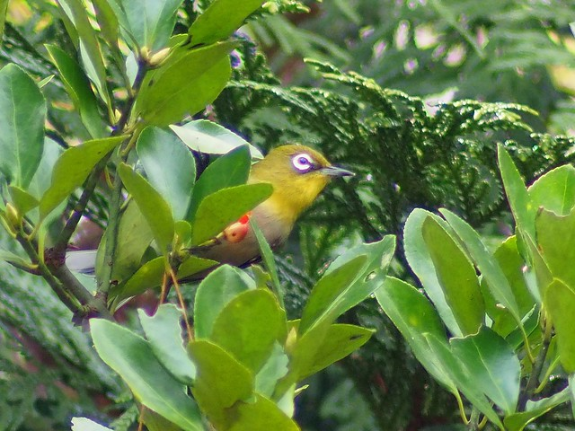 Japanese White-eye (メジロ)