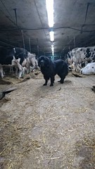 Roméo avec les vaches