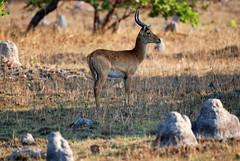 Male Puku (Kobus vardoni) in a field of Turmite Mounds, Kasanka NP, Zambia