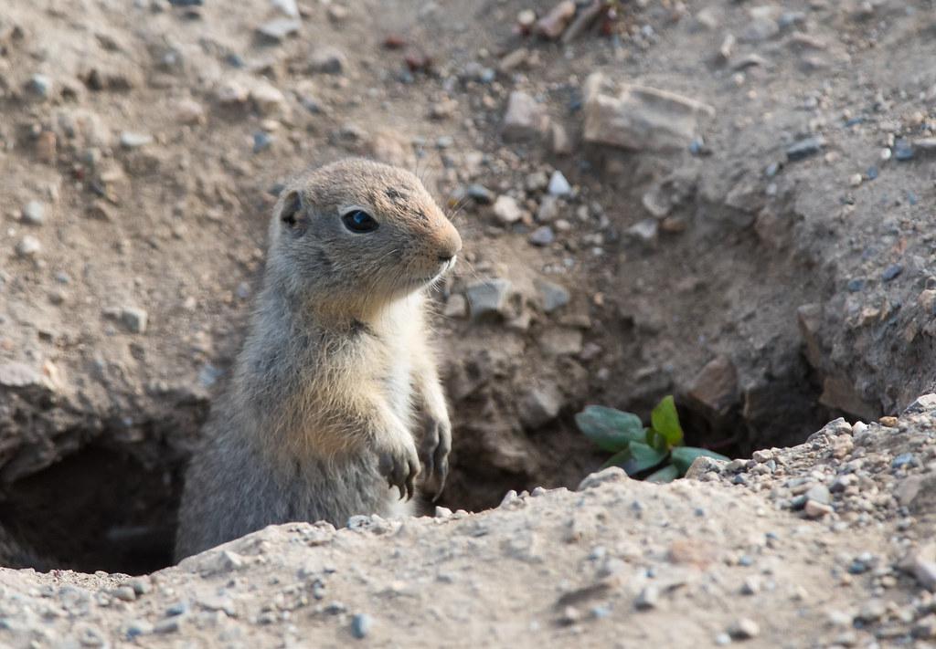 地缝里钻出个地松鼠