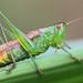 Grasshopper by J S McTavish