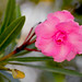 Nerium oleander by Ebroh