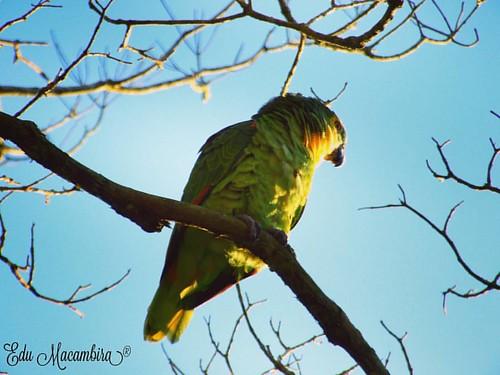 Papagaio - Parrot  #papagaio #parrot #naturezalinda #naturezaperfeita #natureza #fauna  #birds #animals #tree #passaro #animais #iglobal_photographers #guzelgununkaresi #bemlindanatureza