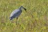 Great Blue Heron (Ardea herodias) 1 083115 by evimeyer