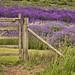 (#2.805) Cotswolds Snowshill Lavender Farm by unicorn 81