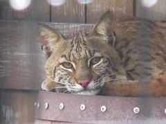 animal, small to medium-sized cats, savannah, pet, mammal, fauna, cat, whiskers, bobcat,