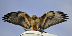 2012-02 Baylands Birds