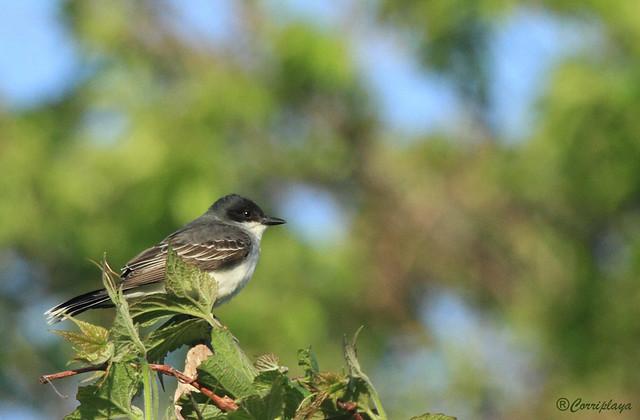 Tirano Oriental Eastern Kingbird (Tyrannus tyrannus)