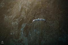 Pelican at Goat Rock
