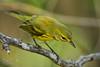 Prairie Warbler by G_Plaza