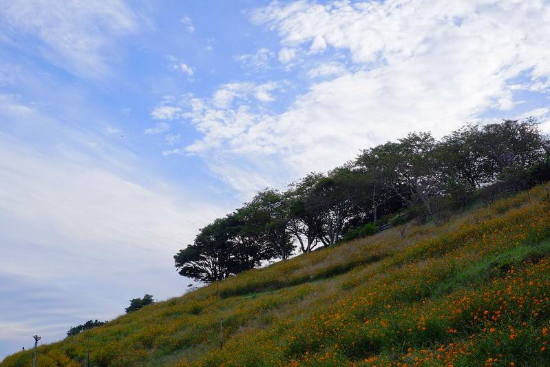 キバナコスモスの丘