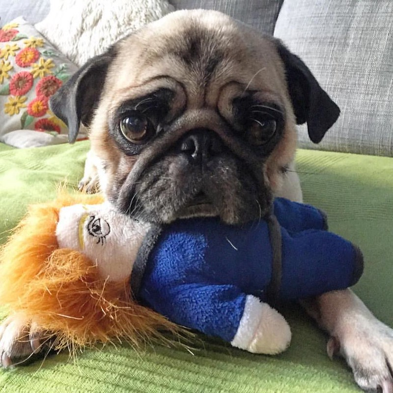 Boogie with his Dognald Trump dog toy. From what I gather, Boogie isn't a fan. Please follow @boogiethepug ! #pugsofinstagram #pugs #dognaldtrump