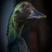 Black Swan by Tjidididi