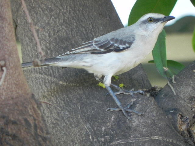 Mimus gilvus. Paraulata Llanera. Tropical Mockingbird
