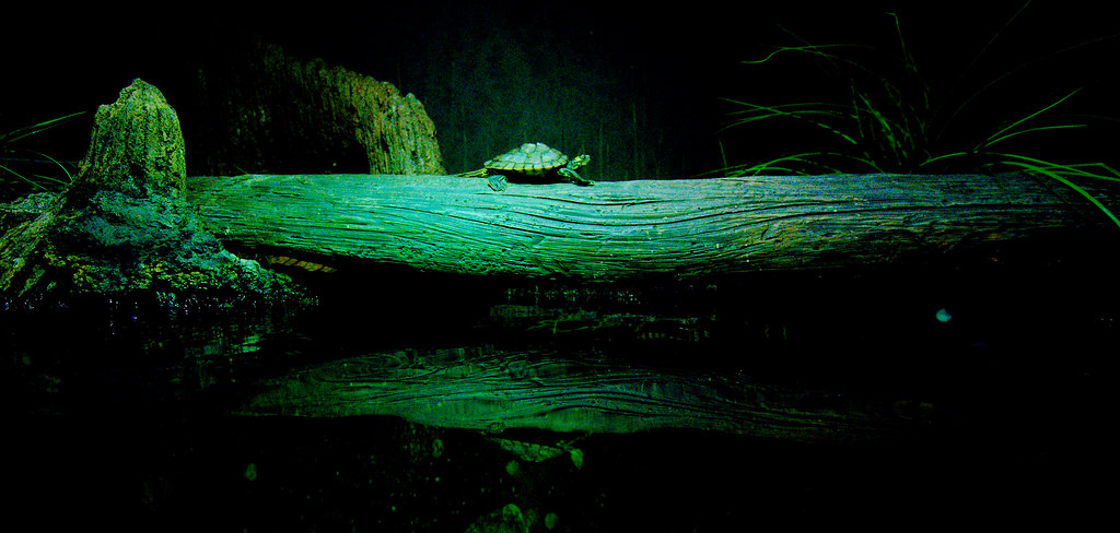 Barbour's Map Turtle (Graptemys barbouri)