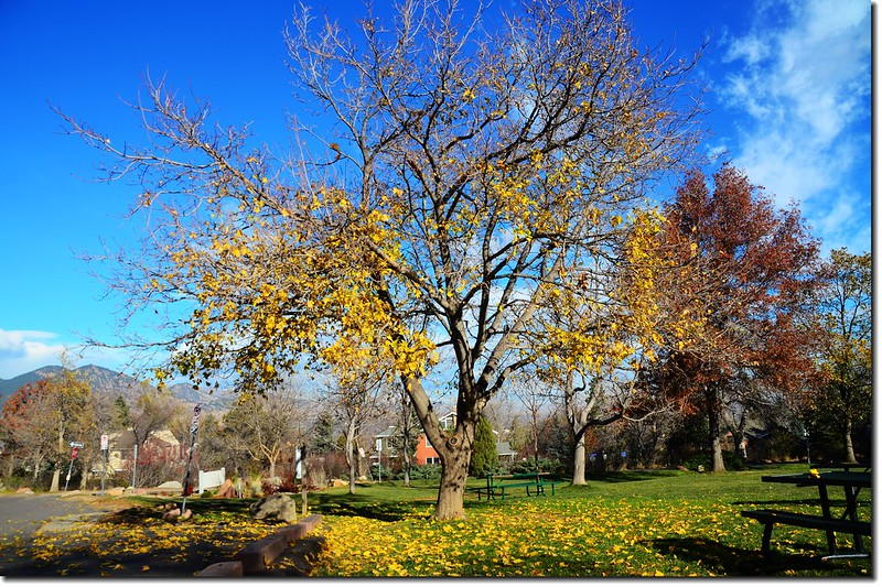 Noway maple in Fall, Chautauqua, Boulder 6