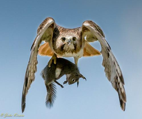 Flickr Hawk (1 of 1)