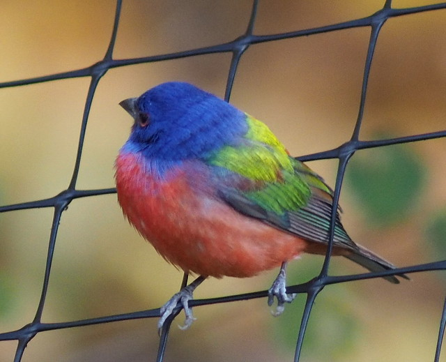 Painted Bunting - Prospect Park