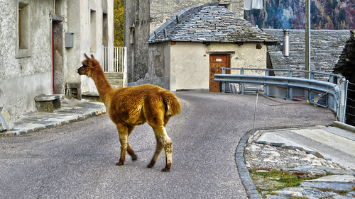 Lama - San Carlo (Valle di Campo) - Ticino - Svizzera