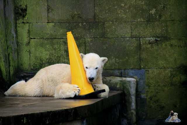 Eisbär Fiete im Zoo Rostock 13.12.2015  178