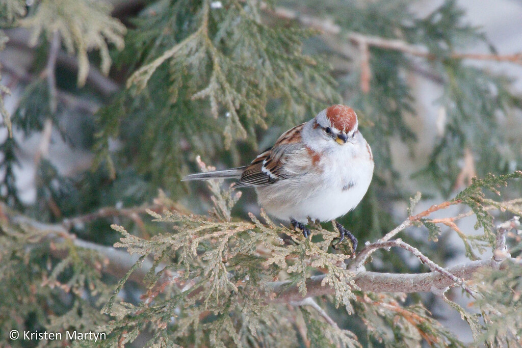 American Tree Sparrow (Spizella arborea)