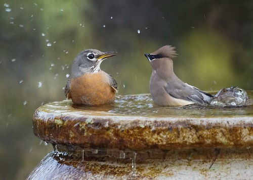 Cedar Waxwing and American Robin at the bubbler
