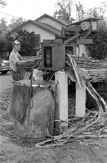 T. G. Mayo feeding sugarcane into the mill - Lake City
